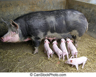 Sow and piglet, animal family on a farm