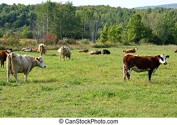 Cows grazing in a field - Variety of cows grazing in a...