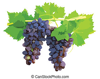 Black grape on cane vine with leafe.