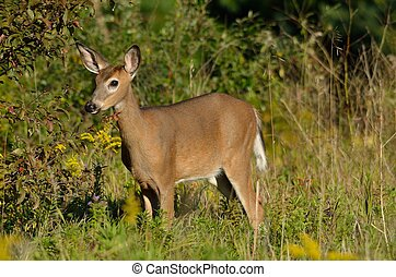 Young White Tailed Deer by Tree - Young White Tailed Deer...