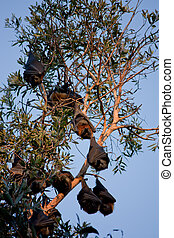 Bat colony hanging from tree - A colony of bats (flying...
