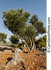 olive tree in plantage on mediterranean