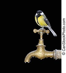 Birdwatching. - Great tit perched on a faucet a rainy day.