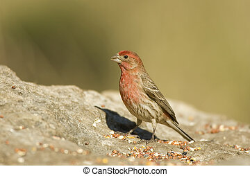 House Finch feeding - A House Finch feeding on seeds placed...