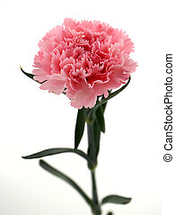 Carnation Isolated on white background Carnation for Mothers...
