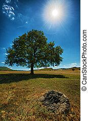 橡木, 樹