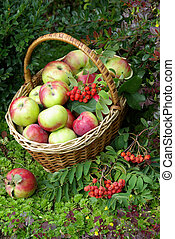 Ripe fresh apples in the basket