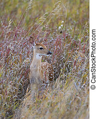 Whitetail Deer Fawn - Fawn standing in tall grass