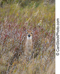Fawn in Tall Grass - Young Fawn in tall Grass