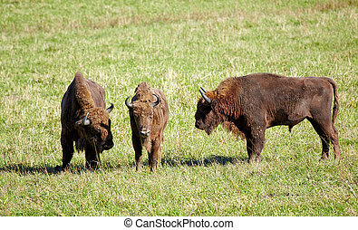 European bison Bison bonasus in Altai natural environment