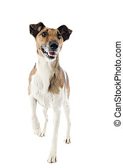 smooth fox terrier - portrait of a purebred smooth fox...