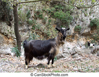 Wild Goats in Greece - Goats roaming free up in the...