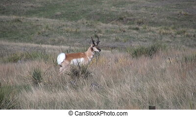 Pronghorn Buck - a pronghorn antelope buck on the grassland