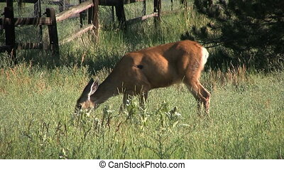 Mule Deer Doe Feeding - a mule deer doe feeding in lush...