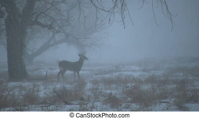 Whitetail Buck Feeding in Snowstorm - a whitetail buck...