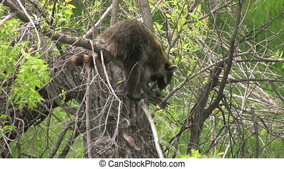 Raccoon in tree - a raccoon climbing around in a tree