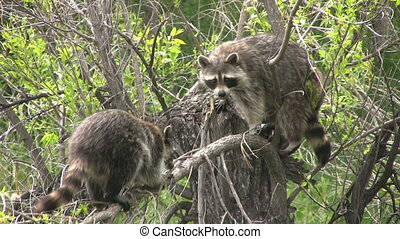 Raccoon in tree - a raccoon in a cottonwood tree