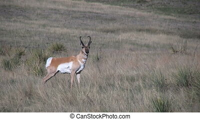 Pronghorn Buck on the Prairie - a pronghorn antelope buck on...