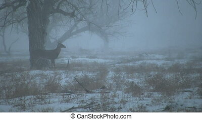 Alert Whitetail Buck in Snowstorm - a whitetail buck in a...