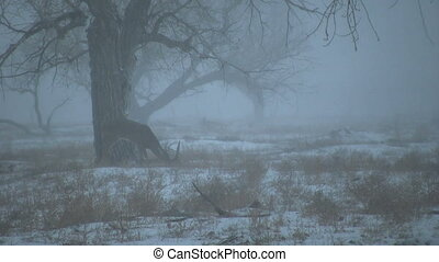 Whitetail Buck in Snowstorm - a whitetail buck in a raging...