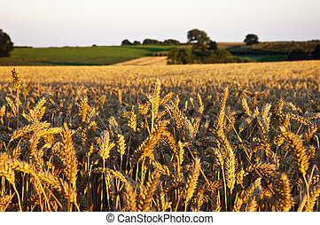 hermoso, trigo, ocaso