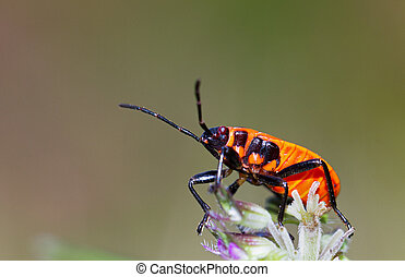 Fire bug side - Fire bug, Pyrrhocoris apterus, in the wild...