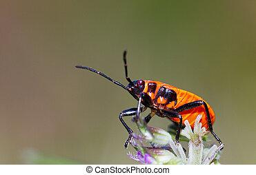 Fire bug side - Fire bug, Pyrrhocoris apterus, in the wild...