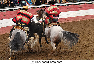 rodeo in chile - horses and caw during a rodeo in chile