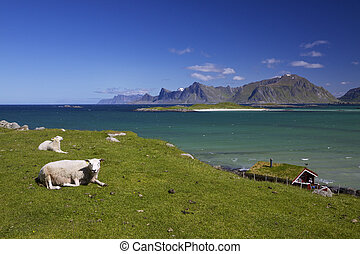Sheep farm on Lofoten - Scenic sheep farm on Lofoten islands...