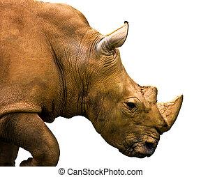 rhino isolated on white background