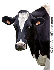 Cow portrait on isolated white background - Milk cow in...