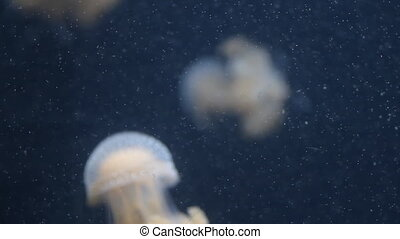 Jellyfish swimming in aquarium