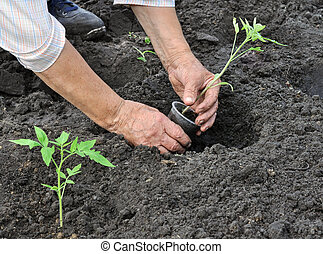 senior woman planting a tomato seedling in the vegetable...