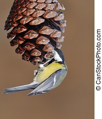 Parus major. - Great tit eating cone pine nuts in a forest.