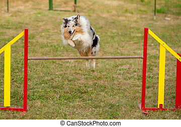 jumping border collie on agility course - jumping border...