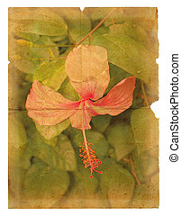 Pink hibiscus flower on a piece of old paper. Page isolated...