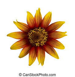 flowerhead - yellow, orange and red flower head in white...