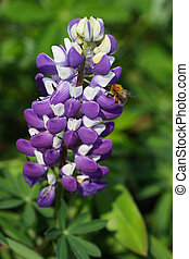 Lupinus quot;Gallery,Blue Shadesquot; - purple and white...