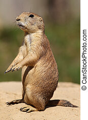 cute little prairie dog in characteristic posture on sandy...
