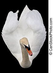 Bird view of a swan - Bird view of a white swan isolated on...