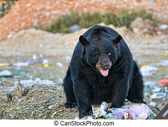 black bear at a garbage dump