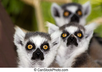 ring-tailed lemurs - Three ring-tailed lemurs