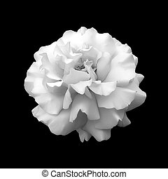 black and white flower rose. A close up isolated on a black...