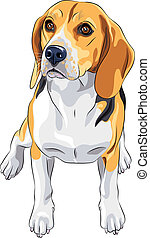 vector sketch dog Beagle breed sitting - color sketch of the...