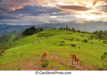 herd of cow in the Mountains