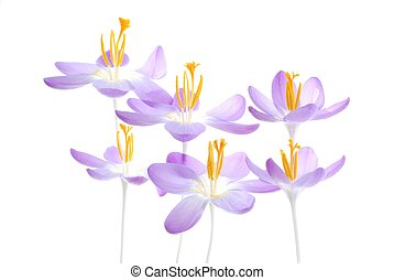 violet spring crocus - Close-up of violet spring crocus with...