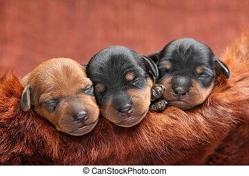 Miniature Pinscher puppies - The Miniature Pinscher puppies,...