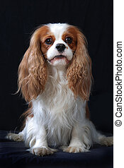 Cavalier King Charles Spaniel dog, adult, blenheim color.