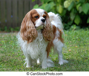 Cavalier King Charles Spaniel, blenheim color, adult