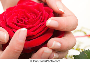 Woman hands with rose petals - Woman hands with red rose...